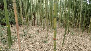 明治開港を感じる長浜公園で竹の間伐in 長浜公園