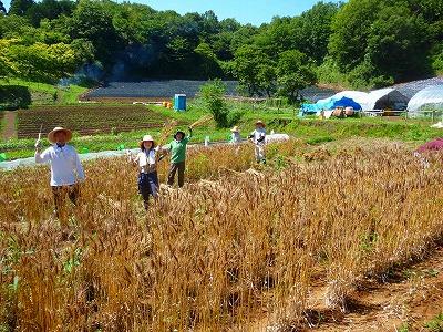 6月小麦収穫体験