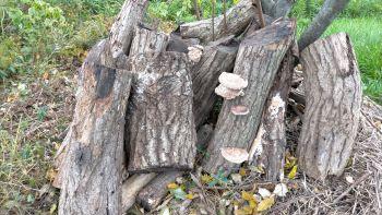 1月末。榾木(ほだぎ)。グミの木の根元に移動すると、残っていた椎茸が花開き始めました。